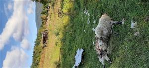 kadáver ulovenej ovce